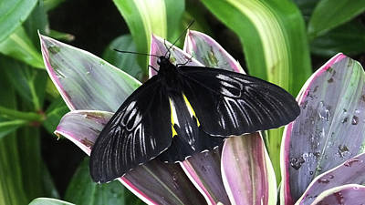 Photograph - Golden Birdwing by Judy Wanamaker