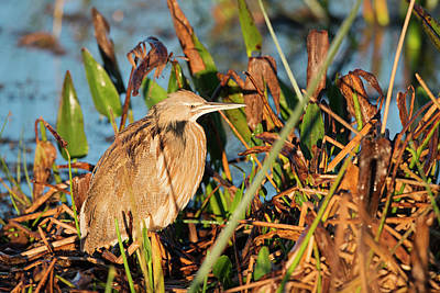 Photograph - Golden Bittern by Mike Fitzgerald