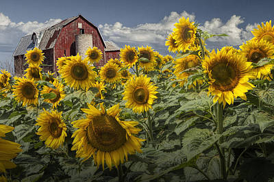 Photograph - Golden Blooming Sunflowers With Red Barn by Randall Nyhof