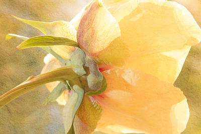 Golden Bowl Tree Peony Bloom - Back Art Print