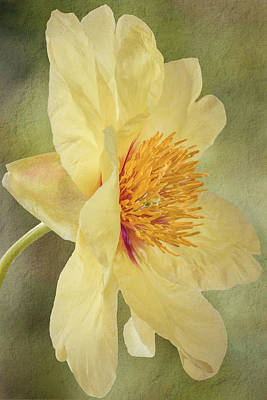 Golden Bowl Tree Peony Bloom - Profile Art Print