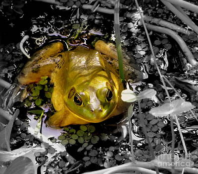 Photograph - Golden Bullfrog by Terri Mills