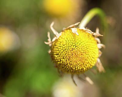 Photograph - Golden Burst by Brian Stricker