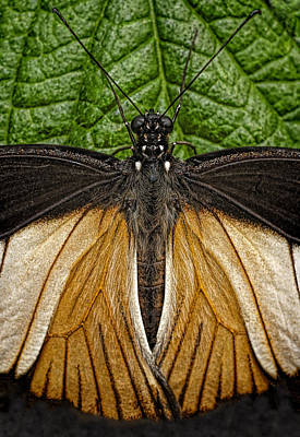 Photograph - Doris Longwing Butterfly by Murray Bloom