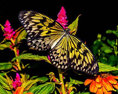 Photograph - Golden Butterfly by Nick Zelinsky