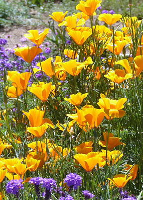 Photograph - Golden California Poppies by Carla Parris