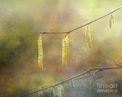 Photograph - Golden Catkins by Liz Alderdice