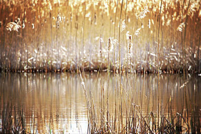Photograph - Golden Cattails by Angie Rea