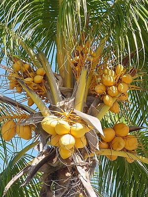 Golden Coconuts Key West Art Print