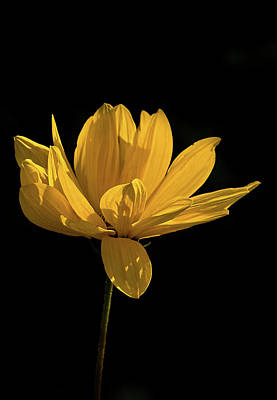 Photograph - Golden Coreopsis by Jacqi Elmslie