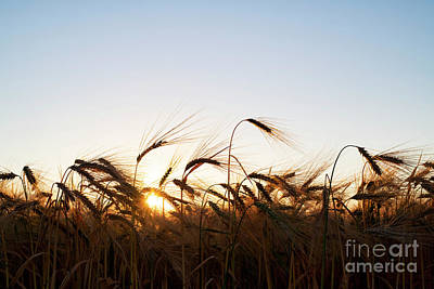 Photograph - Golden Crop by Tim Gainey