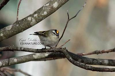 Photograph - Golden-crowned Kinglet 3406 by Captain Debbie Ritter