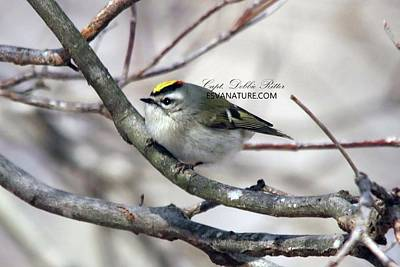 Photograph - Golden-crowned Kinglet 3425 by Captain Debbie Ritter