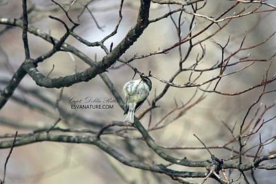 Photograph - Golden-crowned Kinglet 3426 by Captain Debbie Ritter