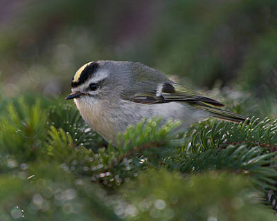 Photograph - Golden-crowned Kinglet by Timothy McIntyre