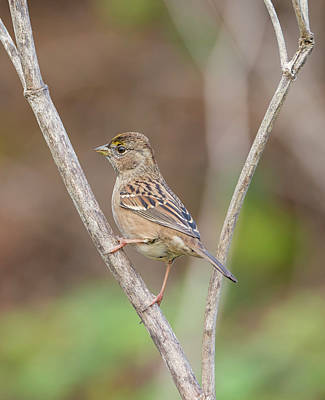Photograph - Golden Crowned Sparrow by Loree Johnson
