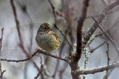 Photograph - Golden-crowned Sparrow by Robert Potts