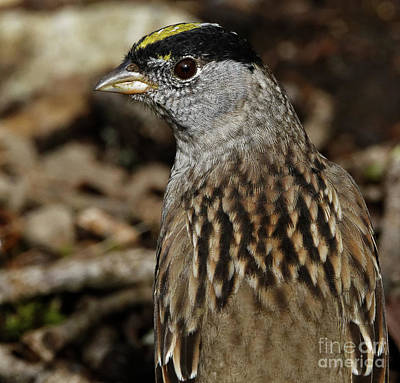 Photograph - Golden-crowned Sparrow by Sue Harper