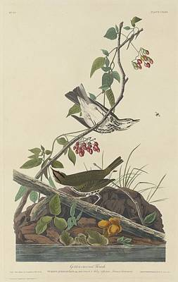 Wren Drawing - Golden-crowned Thrush by Dreyer Wildlife Print Collections
