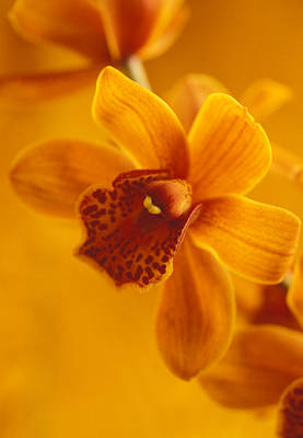 Orchids Photograph - Golden Cymbidian Orchid by Kathy Yates