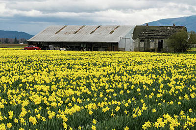 Photograph - Golden Daffodils Old Barn And Red Car by Tom Cochran