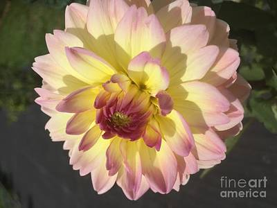 Photograph - Golden Dahlia by Nona Kumah