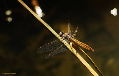 Photograph - Golden Dragonfly 001 by Kevin Chippindall