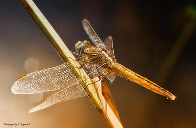 Photograph - Golden Dragonfly 002 by Kevin Chippindall