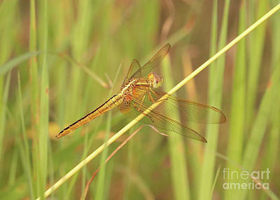 Photograph - Golden Dragonfly On Reed by Carol Groenen