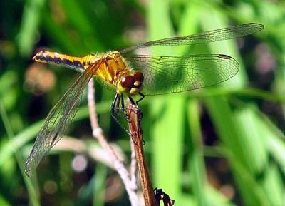 Impressionist Landscapes - Golden Dragonfly by Solveig Singleton