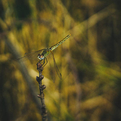 Photograph - Golden Drangonfly by Cesare Bargiggia