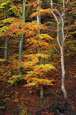 Photograph - Golden Dress Of Beech Tree by Jenny Rainbow
