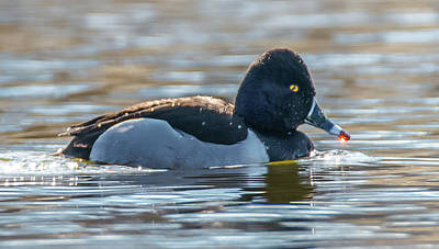 Photograph - Golden Drop On Ring-necked Duck by Jeff at JSJ Photography