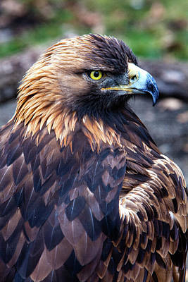 Photograph - Golden Eagle 001 by David Millenheft
