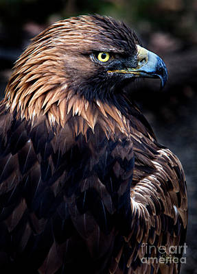 Eagle Photograph - Golden Eagle 1 by David Millenheft