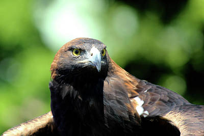 Photograph - Golden Eagle 2 by David Stasiak