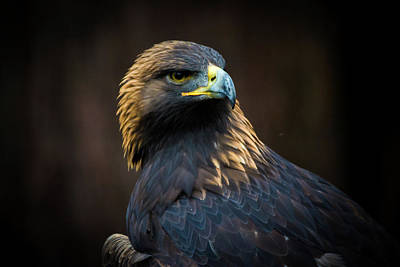 Golden Eagle 3 Art Print