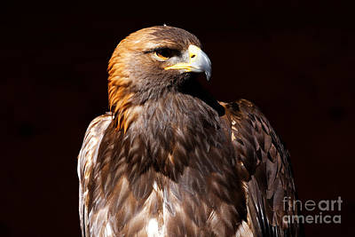 Photograph - Golden Eagle - At Rest by Sue Harper