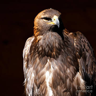 Photograph - Golden Eagle - Bird Of Prey by Sue Harper