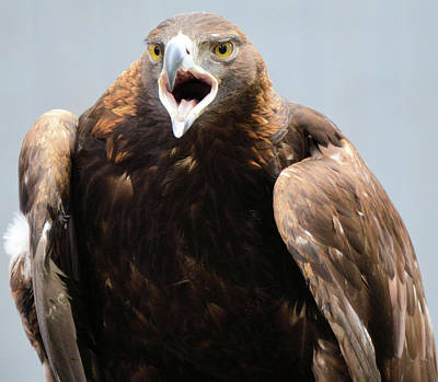 Photograph - Golden Eagle by Charles HALL