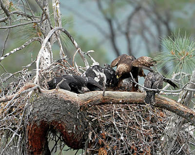 Photograph - Golden Eagle Chicks With Red Tailed Hawk Chick 2 by Dale Matson