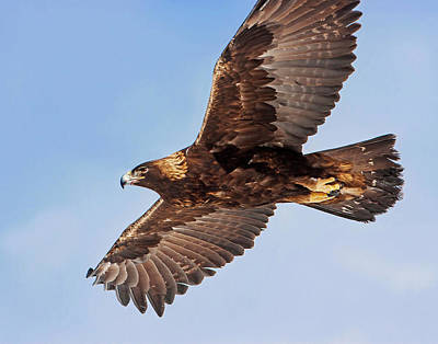 Photograph - Golden Eagle Flight by Mark Miller