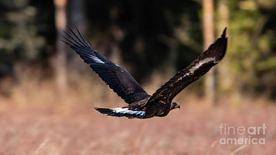 Pinion Photograph - Golden Eagle Flying by Torbjorn Swenelius