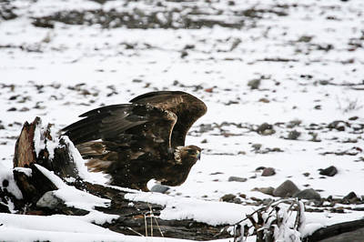 Photograph - Golden Eagle by Gary Hall