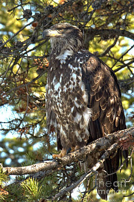 Photograph - Golden Eagle Gazing Into The Sky by Adam Jewell
