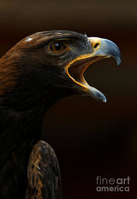 Photograph - Golden Eagle - Gift Of Nature by Sue Harper