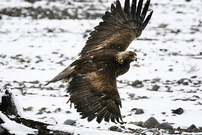 Photograph - Golden Eagle In Flight by Gary Hall