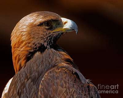 Photograph - Golden Eagle In The Summer Sun by Sue Harper