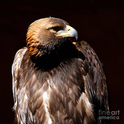 Photograph - Golden Eagle - Intense by Sue Harper