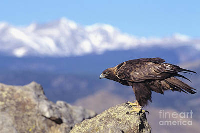Golden Eagle Art Print by John Hyde - Printscapes